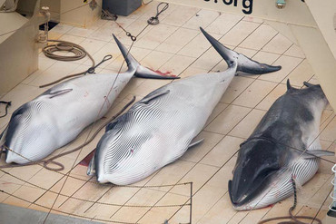 Three dead minke whales aboard the Nisshan Maru (Sea Shepherd)