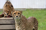 A cheetah from Orana Wildlife Park which recently ...