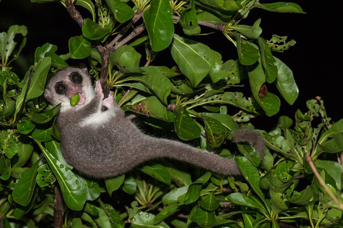 Newly discovered dwarf lemur could be a new species